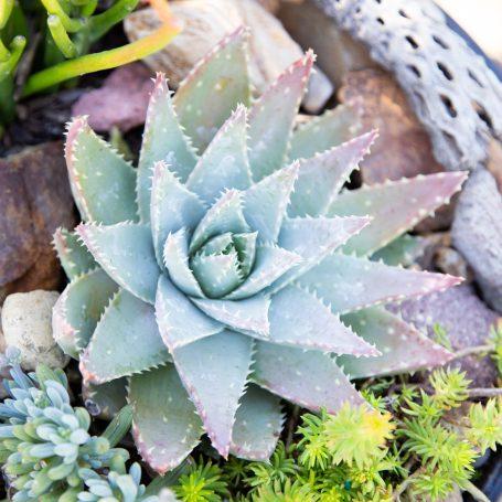 aloe brevifolia sedum