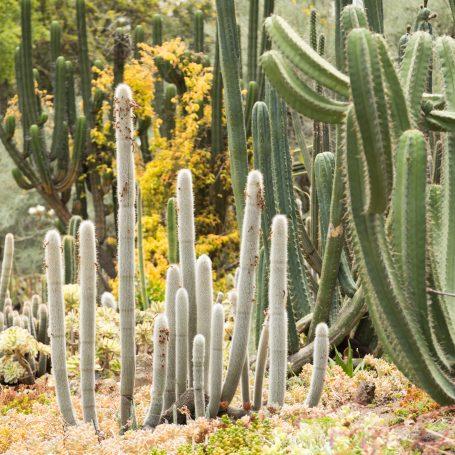 cacti huntington library garden