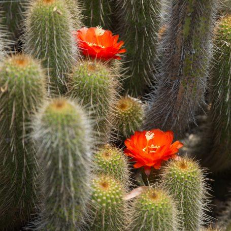cactus flower blossoms huntington garden library