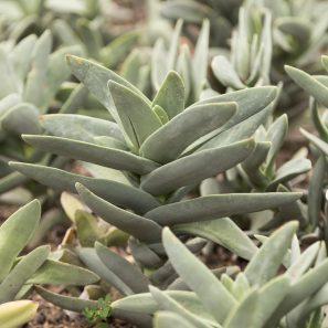 crassula falcata propeller plant succulent huntington gardens