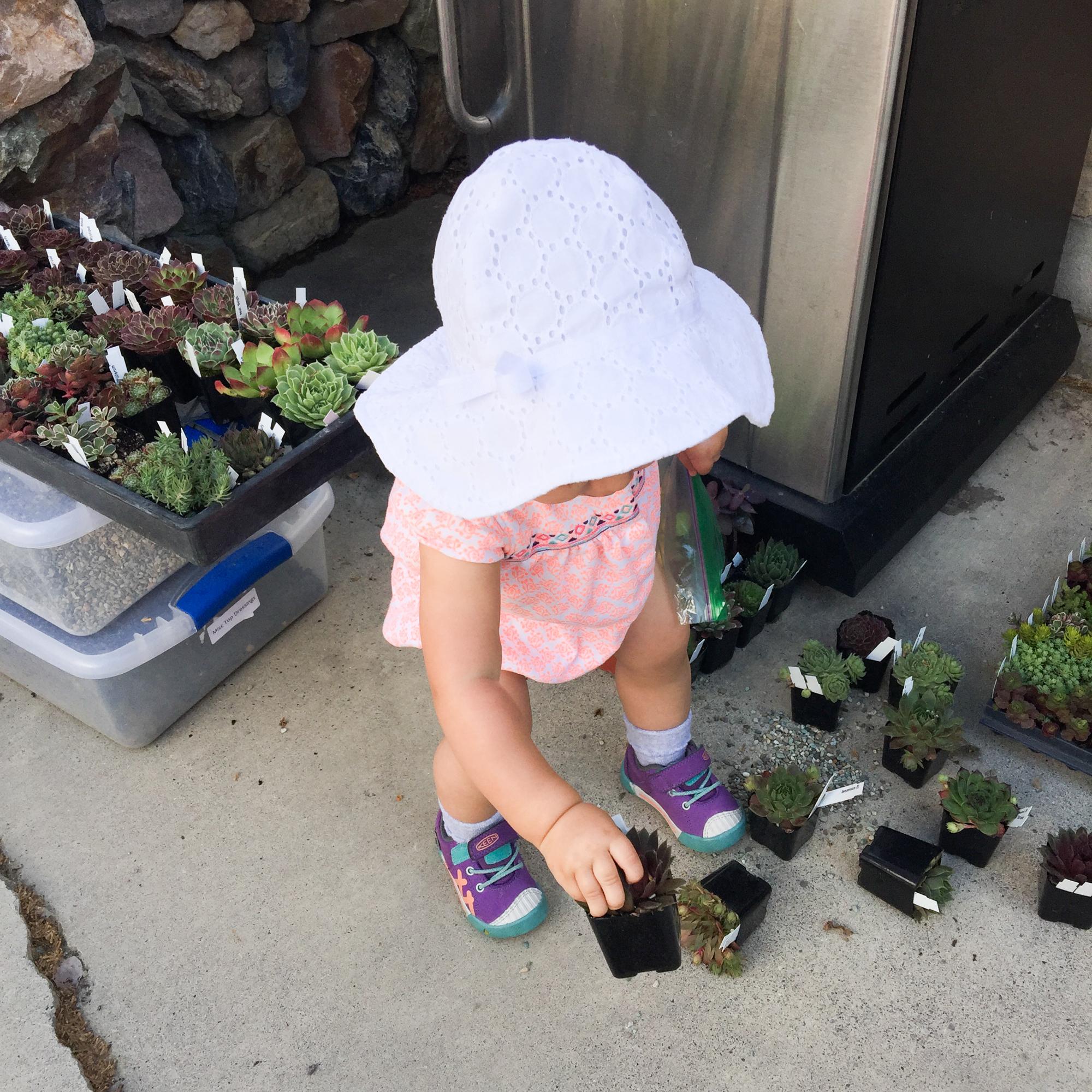 girl picking up sempervivum succulents