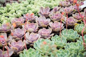 purple green succulents to buy