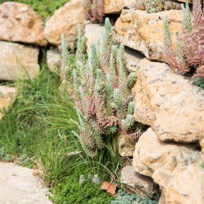 sedums growing in rock