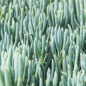 senecio blue chalksticks