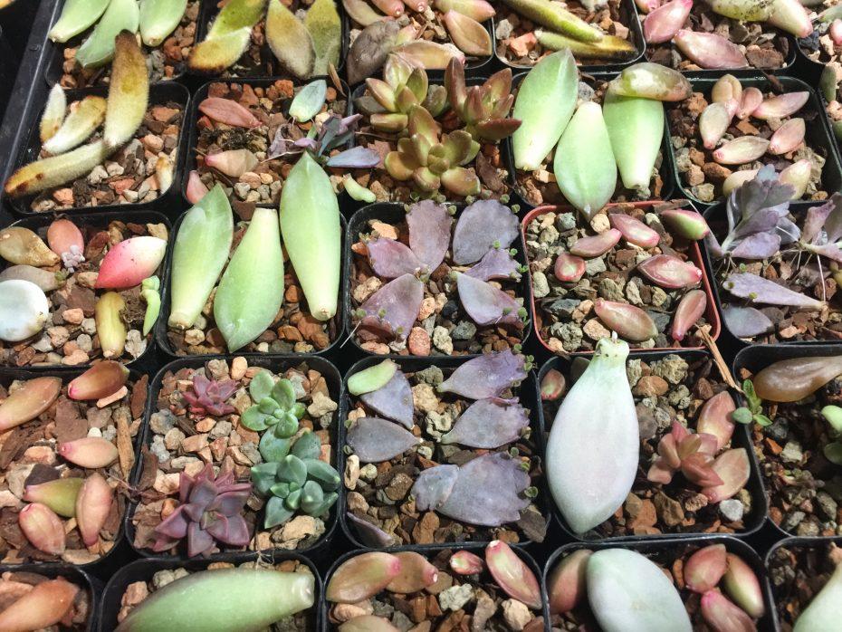succulent leaf propagation grow tent